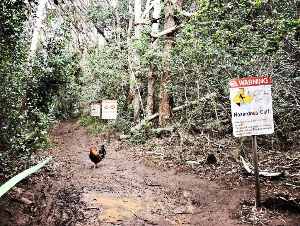 Der mutigste Hahn auf Kauai'i - er marschierte tapfer der Gefahr entgegen