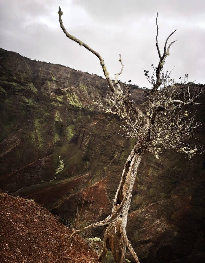 Baum fällt? Wagemutiger Baum am Rande des Abgrundes