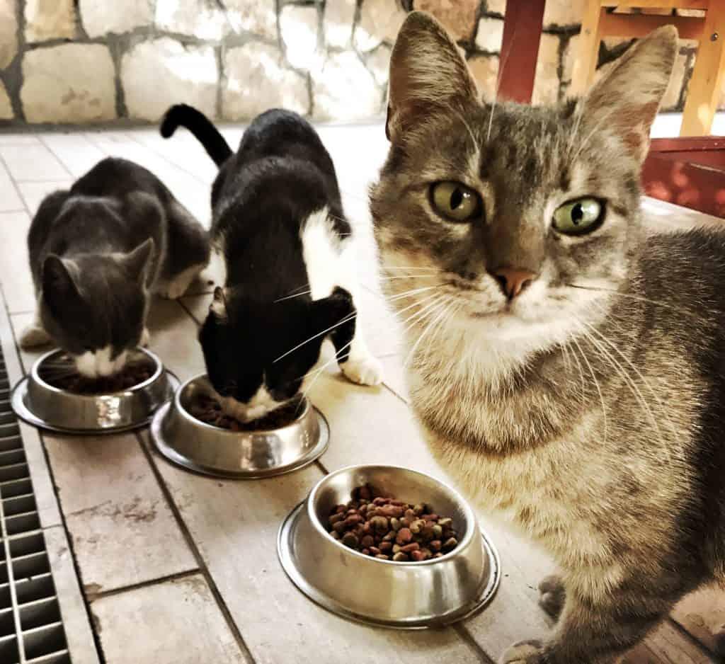 """Cevaci (hier im Katzen-Restaurant) freut sich sicher auf des Katzen-Hotel. Hinten links unser Neuzugang \""""Trouble\"""", hat sich sehr gut in die Katzenfamilie integriert. Spotty (rechts) ist Cevacis Sohn."""